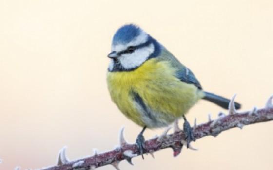 Minicursus: Tuinvogels herkennen